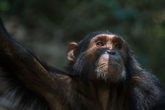 Chimpanzee portrait. Portrait of a young male Eastern chimpanzee in natural habitat Stock Photography