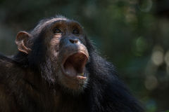 Chimpanzee portrait. Portrait of a young male Eastern chimpanzee in natural habitat Stock Photos