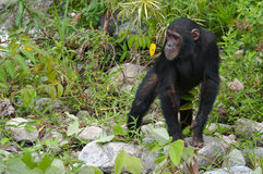 Chimpanzee pose. This Male Chimpanzee pauses to wait for the rest of the family to catch up in the Mahale Mountains, Tanzania stock photo