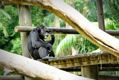 Chimpanzee pose outdoors. Chimpanzee  sitting on a rock at the zoo Stock Photography