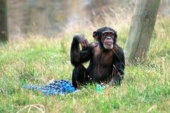Chimpanzee poses. At Wellington Zoo, New Zealand Stock Image