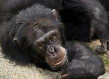 Chimpanzee Posing to Camera. Black chimpanzee lying on the floor and facing the camera Royalty Free Stock Photos