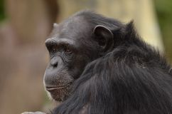Chimpanzee profile Stock Photos