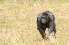 Chimpanzee 2 Stock Image