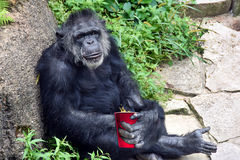 Chimpanzee with red party cup Stock Photography