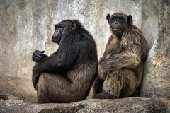 Chimpanzee relax in the cave walls. Chimpanzee relax in the cave walls in a natural atmosphere stock images