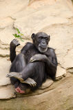 Chimpanzee relaxing on stone background. Chimpanzee with sprig of leaves relaxing in a zoo Stock Photos