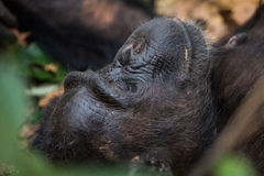 Chimpanzee at rest. Eastern chimpanzee resting on forest floor Royalty Free Stock Photography