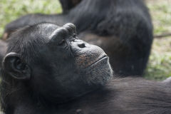 A Chimpanzee resting. A Chimpanzee at rest. This is an older one. There are two species of chimpanzees and they come from West Africa and Central Africa royalty free stock photo