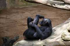 Chimpanzee resting Royalty Free Stock Photography