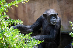 Chimpanzee resting Royalty Free Stock Images