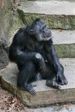 A sitting Chimpanzee. A Chimpanzee resting in the open royalty free stock image
