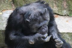 A sitting Chimpanzee. A Chimpanzee resting in the open royalty free stock photography