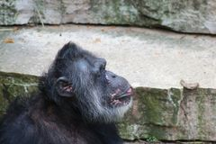 A sitting Chimpanzee. A Chimpanzee resting in the open stock photo