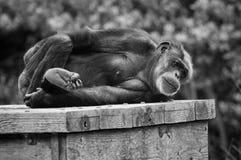 Chimpanzee Retirement Royalty Free Stock Photo