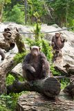 The chimpanzee on a rock at the zoo Stock Photos