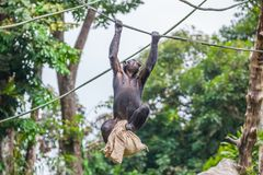 Chimpanzee on rope with bag in her hands. The chimpanzee hangs on a rope with a bag in her hands stock photo