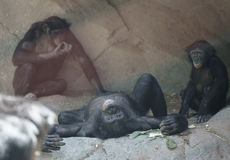 Chimpanzee`s, Zoo Series, nature, animal. Chimpanzee`s living the life Stock Image