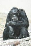 Chimpanzee. Sad and pensive chimpanzee who sits on the ground Stock Photo