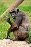 Chimpanzee. Chimpanzee in safari park Central Israel stock images