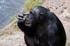 Chimpanzee scraching Royalty Free Stock Photography