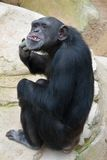 Chimpanzee scratching Royalty Free Stock Photography
