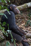 Chimpanzee seated in forest. Eastern chimpanzee seated upright in forest Stock Image
