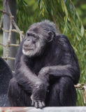 Chimpanzee Seated. This is an image of a chimpanzee sitting and looking toward its right Royalty Free Stock Images