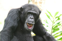 Chimpanzee Showing His Teeth and Playing with His Lip Royalty Free Stock Image