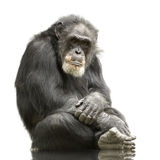 Chimpanzee - Simia troglodytes. Isolated on a white royalty free stock image