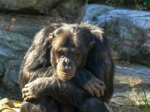 A chimpanzee sits in a contemplative pose royalty free stock image
