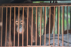 Chimpanzee sits in the cage and looks with sad eyes. Big brown chimpanzee sits in the cage and looks with sad eyes. monkey in the prison Stock Photos