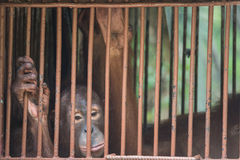 Chimpanzee sits in the cage and looks with sad eyes. Big brown chimpanzee sits in the cage and looks with sad eyes. monkey in the prison Royalty Free Stock Images