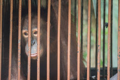 Chimpanzee sits in the cage and looks with sad eyes. Big brown chimpanzee sits in the cage and looks with sad eyes. monkey in the prison Stock Images