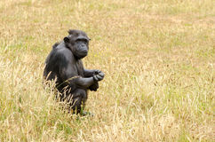 Chimpanzee 3. A chimpanzee sits and observes Stock Photography