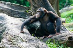Chimpanzee Sits On A Branch Royalty Free Stock Image