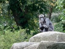 Chimpanzee looks like a model, sitting on a rock and staring at. Chimpanzee sits on a rock with arm folded over his knees like a model would pose and staring royalty free stock photos