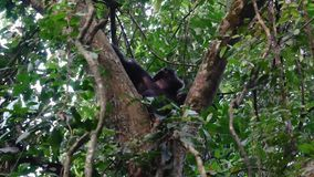 Chimpanzee Sits On A Tree In An African Wildlife Rainforest In A Nature Reserve. An adult wild monkey chimpanzee sits on a tree in an African rainforest in the stock video