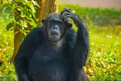 Free Chimpanzee Sitting And Thinking About Something Stock Images - 122662494