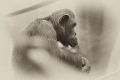 Chimpanzee Sitting on  Branch Stock Photography
