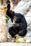 Chimpanzee sitting in chiangmai-nightsafari chiangmai Thailand.  stock photo