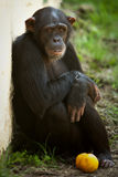 Chimpanzee sitting with fruit. Chimpanzee sitting against a wall with fruit Stock Photo