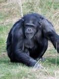 Chimpanzee alert Royalty Free Stock Images