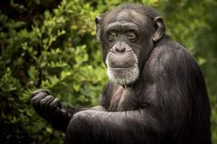 Chimpanzee portrait, detailed. A chimpanzee sitting on the grass, staring stock photography