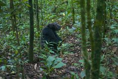 Chimpanzee Sitting in Green Forest stock photos