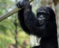 Chimpanzee Sitting and Holding Rope While Making Expression. A chimpanzee sits and holds a rope while making an expression on a sunny day stock photo