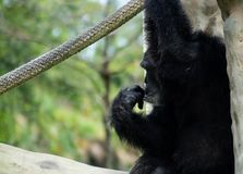 Chimpanzee Sitting and Holding Rope While Making Expression. A chimpanzee sits and holds a rope while making a human-like expression on a sunny day royalty free stock photo