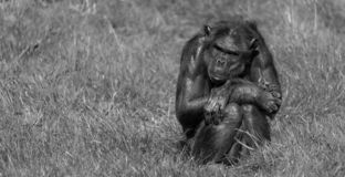 Chimpanzee sitting on its own int he grass at Monkey World Ape Rescue Centre in Dorset, UK. Chimpanzee sitting on its own in the grass at Monkey World Ape stock images