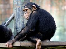 Chimpanzee sitting on the metal bench at zoo in Kuala Lumpur. December 25, 2017 royalty free stock image