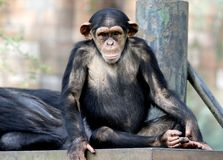 Chimpanzee sitting on the metal bench at zoo in Kuala Lumpur. December 25, 2017 royalty free stock photo